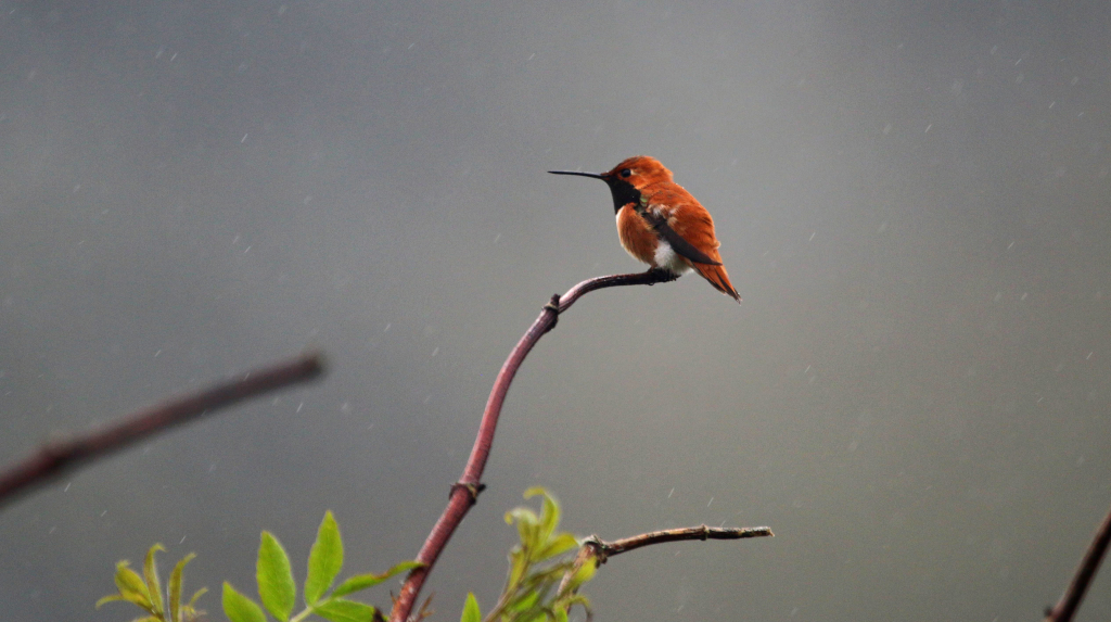 2. Male Rufous Hummingbird (Selasphorus rufus) On A Branch, Nestucca Bay National Wildlife Refuge, State of Oregon, USA. Photo Credit: Peter Pearsall ('Item ID 128_35_19_23226632963_6aa2493305_o.jpg' 'Date of Original 2015-03-27' 'Original Data ID 2015:11:28 09:27:04'), United States Fish and Wildlife Service (USFWS) National Digital Library (http://digitalmedia.fws.gov or https://digitalmedia.fws.gov/digital), United States Fish and Wildlife Service (http://www.fws.gov), United States Department of the Interior (http://www.doi.gov), Government of the United States of America (USA).