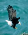 Mananaf (Júnio) 3, 2004, Salmo 103:1-5; Salmo 91:2-4. Bald Eagle -  Haliaeetus leucocephalus
