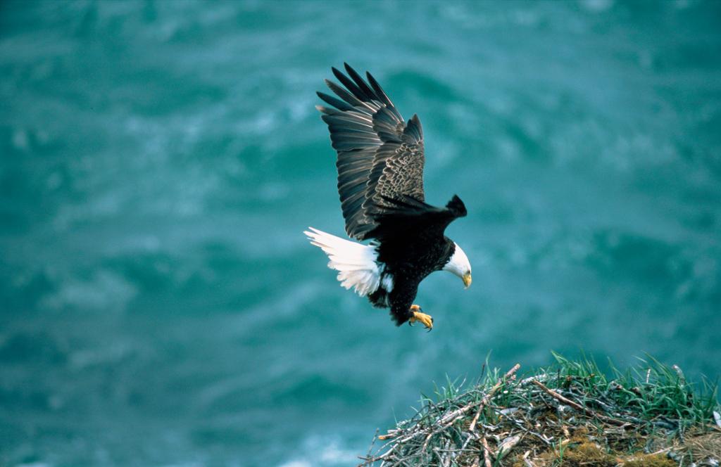 1. Bald Eagle, Haliaeetus leucocephalus, Prepares to Land on the Nest, Kodiak Island National Wildlife Refuge, State of Alaska, USA. Photo Credit: Dave Menke (WV-10673-CD34), NCTC Digital Repository (http://DigitalRepository.fws.gov), National Conservation Training Center (NCTC), United States Fish and Wildlife Service (FWS, http://www.fws.gov), United States Department of the Interior (http://www.doi.gov), Government of the United States of America (USA).