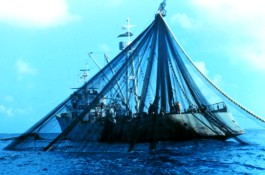 2. After closing the seine and trapping the fish, the net is now brought on board the purse seiner. The above photo is a view of the net being run through the powerblock and then laid back on the ship's stern. Photo Credit: NOAA Central Library, National Oceanic and Atmospheric Administration Photo Library (http://www.photolib.noaa.gov), Fisheries Collection, National Oceanic and Atmospheric Administration (NOAA, http://www.noaa.gov), United States Department of Commerce (http://www.commerce.gov), Government of the United States of America.
