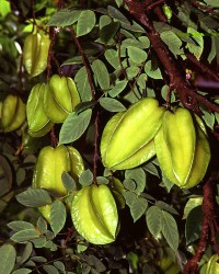 1. Carambolas (Arkin variety). Photo Credit: Scott Bauer (http://www.ars.usda.gov/is/graphics/photos, K5735-7), Agricultural Research Service (ARS, http://www.ars.usda.gov), United States Department of Agriculture (USDA, http://www.usda.gov), Government of the United States of America (USA).