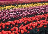 2. Tulips; Oregon, USA. Photo Credit: Gary Kramer (2001, http://photogallery.nrcs.usda.gov, NRCSMT01095), USDA Natural Resources Conservation Service (NRCS, http://www.nrcs.usda.gov), United States Department of Agriculture (USDA, http://www.usda.gov), Government of the United States of America (USA).