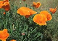 5. California Poppy;  California, USA. Photo Credit: Gary Kramer (2001, http://photogallery.nrcs.usda.gov, NRCSCA01046), USDA Natural Resources Conservation Service (NRCS, http://www.nrcs.usda.gov), United States Department of Agriculture (USDA, http://www.usda.gov), Government of the United States of America (USA).