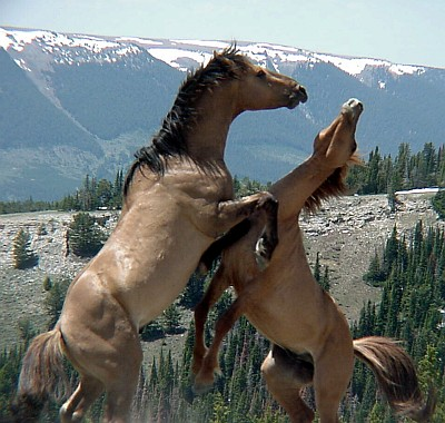 2. Two Wild Horses Fighting on the Pryor Mountain National Wild Horse Range, State of Montana, USA. Photo Credit: BLM Digital Photo Library (http://www.photos.blm.gov, Spring 2003, Pryor Mountain Wild Horse Range, Carbon County, Montana, USA), Bureau of Land Management (BLM, http://www.blm.gov), United States Department of the Interior, (http://www.doi.gov), Government of the United States of America (USA).