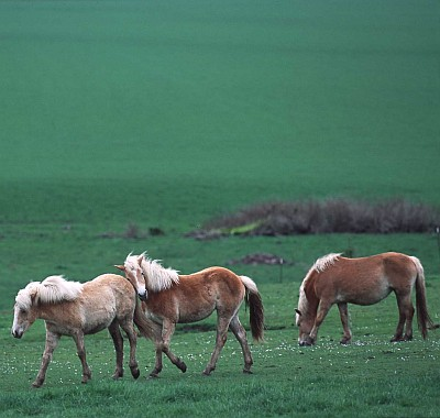 4. Horses at Play in Linn County, State of Oregon, USA. Photo Credit: Ron Nichols (2002, http://photogallery.nrcs.usda.gov, NRCSOR02015), USDA Natural Resources Conservation Service (NRCS, http://www.nrcs.usda.gov), United States Department of Agriculture (USDA, http://www.usda.gov), Government of the United States of America (USA).