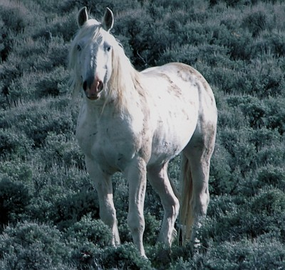 5. Wild Horse on the Wyoming Range, State of Wyoming, USA. Photo Credit: Marcella Bodner, National Wild Horse and Burro Program (http://www.WildHorseAndBurro.blm.gov, http://www.WildHorseAndBurro.blm.gov/photo_gallery), Bureau of Land Management (BLM, http://www.blm.gov), United States Department of the Interior, (http://www.doi.gov), Government of the United States of America (USA).