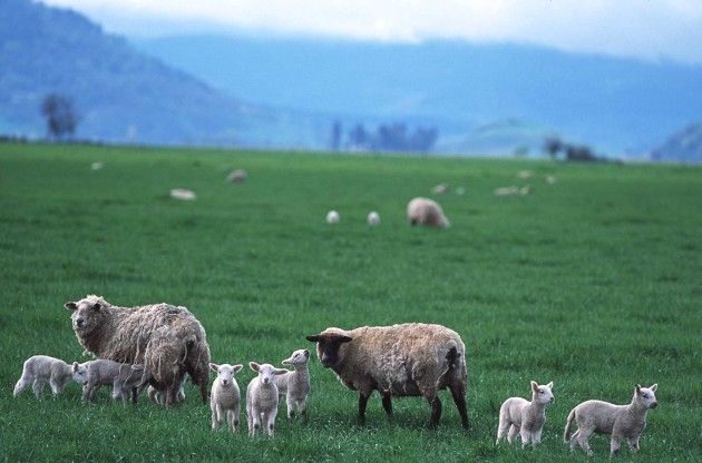 Ewes and lambs in the Pasture, Linn County, State of Oregon, USA. Photo Credit: Ron Nichols (2002, http://photogallery.nrcs.usda.gov, NRCSOR02014), USDA Natural Resources Conservation Service (NRCS, http://www.nrcs.usda.gov), United States Department of Agriculture (USDA, http://www.usda.gov), Government of the United States of America (USA).