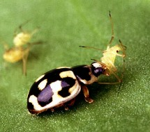 3. A P-14 Lady Beetle Eats a Pea Aphid. Photo Credit: Scott Bauer (http://www.ars.usda.gov/is/graphics/photos, K5812-17), Agricultural Research Service (ARS, http://www.ars.usda.gov), United States Department of Agriculture (USDA, http://www.usda.gov), Government of the United States of America (USA).