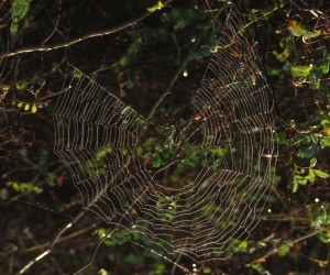 4. Spider Weaving a Web in the Muscatatuck National Wildife Refuge, USA. Photo Credit: Phyllis Cooper (WV-10661-Spiderwebs), National Conservation Training Center (NCTC) Image Library, United States Fish and Wildlife Service Digital Library System (http://images.fws.gov), United States Fish and Wildlife Service (http://www.fws.gov), United States Department of the Interior (http://www.doi.gov), Government of the United States of America (USA).