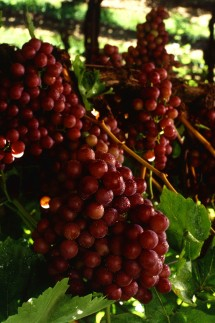 1. Flame Seedless Grapes on the Vine. Photo Credit: Patrick Tregenza (http://www.ars.usda.gov/is/graphics/photos, K5632-3), Agricultural Research Service (ARS, http://www.ars.usda.gov), United States Department of Agriculture (USDA, http://www.usda.gov), Government of the United States of America (USA).