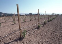 2. Young Grape Vines in Imperial Valley, State of California, USA. Photo Credit: Tim McCabe (1982, http://photogallery.nrcs.usda.gov, NRCSCA82008), USDA Natural Resources Conservation Service (NRCS, http://www.nrcs.usda.gov), United States Department of Agriculture (USDA, http://www.usda.gov), Government of the United States of America (USA).