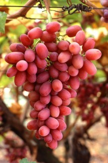 4. Crimson Seedless Grapes on the Vine. Photo Credit: Bob Nichols (http://www.ars.usda.gov/is/graphics/photos, K7721-3), Agricultural Research Service (ARS, http://www.ars.usda.gov), United States Department of Agriculture (USDA, http://www.usda.gov), Government of the United States of America (USA).