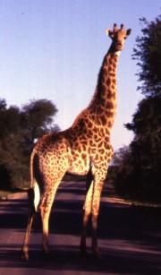 "3. Giraffe at the Skukuza Airport, Republic of South Africa. Photo Credit: ""A Giraffe Encountered at the Skukuza Airport"" photographed by Mark Helmlinger of the NASA Jet Propulsion Laboratory (http://www.jpl.nasa.gov) in Pasadena, California; Southern African Regional Science Initiative (SAFARI 2000, 1999-2001, http://www.daac.ornl.gov/S2K/safari.html), Skukuza-MISR Validation Site Photos (http://www.daac.ornl.gov/S2K/s2k_photo_pages/skukuza_misr/skukuza_misr.html). Oak Ridge National Laboratory (ORNL) Distributed Active Archive Center (http://www.daac.ornl.gov), United States Department of Energy (http://www.doe.gov), Government of the United States of America.Government of the United States of America; National Aeronautics and Space Administration (NASA, http://www.nasa.gov), Government of the United States of America (USA)."