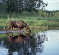 4. Moose Feeding in the Lake, Innoko National Wildlife Service, State of Alaska, USA. Photo Credit: Kate Banish (Innoko NWR-076), Alaska Image Library, United States Fish and Wildlife Service Digital Library System (http://images.fws.gov), United States Fish and Wildlife Service (http://www.fws.gov), United States Department of the Interior (http://www.doi.gov), Government of the United States of America (USA).