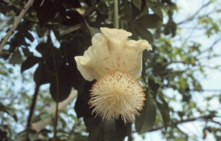 1. Flower on the Baobab Tree (Adansonia digitata), Republique du Senegal - Republic of Senegal, West Africa. Photo Credit: USAID/Senegal West-Central Agricultural Domain (Adansonia digitata, http://edcintl.cr.usgs.gov/senegal2/sine.html), USGS EROS Data Center International Program (http://edcintl.cr.usgs.gov), United States Geological Survey (USGS, http://www.usgs.gov), United States Department of the Interior (http://www.doi.gov), Government of the United States of America; United States Agency for International Development (USAID, http://www.usaid.gov), Government of the United States of America.