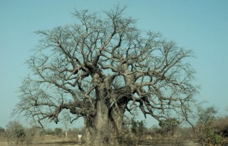 2. Baobab Tree (Adansonia digitata), Republique du Senegal - Republic of Senegal, West Africa. Photo Credit: USAID/Senegal West-Central Agricultural Domain (Adansonia digitata, http://edcintl.cr.usgs.gov/senegal2/sine.html), USGS EROS Data Center International Program (http://edcintl.cr.usgs.gov), United States Geological Survey (USGS, http://www.usgs.gov), United States Department of the Interior (http://www.doi.gov), Government of the United States of America; United States Agency for International Development (USAID, http://www.usaid.gov), Government of the United States of America.