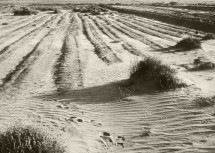 4. Wind-devestated Farmland During the Dust Bowl (1935), State of Kansas, USA. Photo Credit: Unknown Photographer (1935, http://photogallery.nrcs.usda.gov, NRCSKS01001), USDA Natural Resources Conservation Service (NRCS, http://www.nrcs.usda.gov), United States Department of Agriculture (USDA, http://www.usda.gov), Government of the United States of America (USA).