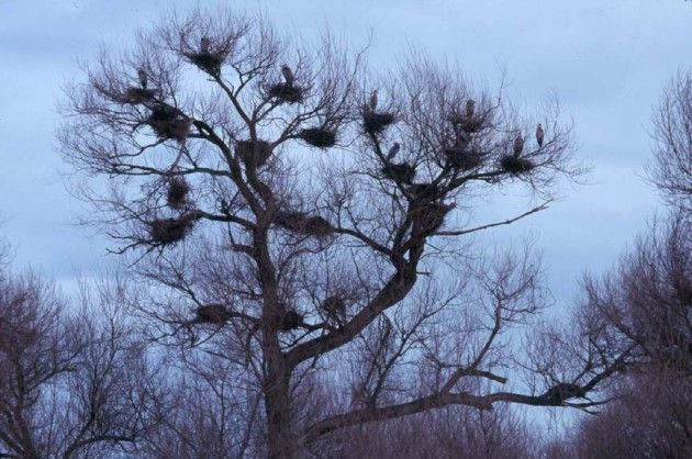Great Blue Herons, Ardea herodias, and Their Tree Nests at Rookery Pond, Merced National Wildlife Refuge, State of California, USA. Photo Credit: Gary R. Zahm (WO-E 40), Washington DC Library, United States Fish and Wildlife Service Digital Library System (http://images.fws.gov), United States Fish and Wildlife Service (http://www.fws.gov), United States Department of the Interior (http://www.doi.gov), Government of the United States of America (USA).