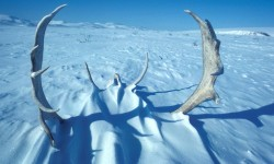 1. Caribou Antlers in the Snow, Noatak River Area, State of Alaska, USA. Photo Credit: Jo Goldmann (AK/RO/02850), Alaska Image Library, United States Fish and Wildlife Service Digital Library System (http://images.fws.gov), United States Fish and Wildlife Service (FWS, http://www.fws.gov), United States Department of the Interior (http://www.doi.gov), Government of the United States of America (USA).