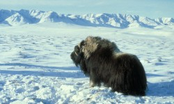2. Musk Ox Bull, State of Alaska, USA. Photo Credit: AK/RO/03179, Alaska Image Library, United States Fish and Wildlife Service Digital Library System (http://images.fws.gov), United States Fish and Wildlife Service (FWS, http://www.fws.gov), United States Department of the Interior (http://www.doi.gov), Government of the United States of America (USA).