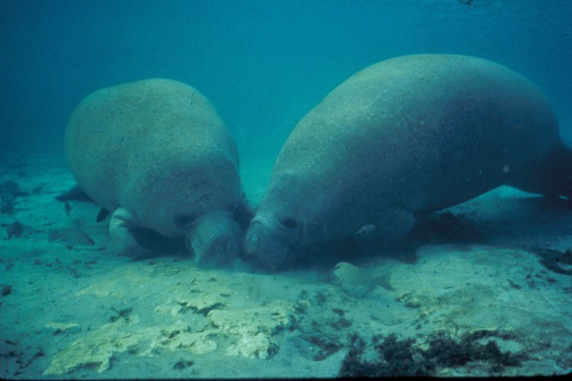 Two Manatees Rooting in the Sand. Photo Credit: Jim P. Reid (WO0389-14), Washington DC Library, United States Fish and Wildlife Service Digital Library System (http://images.fws.gov), United States Fish and Wildlife Service (FWS, http://www.fws.gov), United States Department of the Interior (http://www.doi.gov), Government of the United States of America (USA).