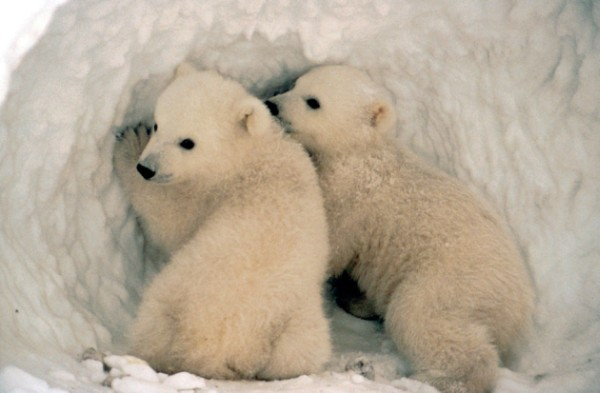 Two Polar Bear Cubs - Ursus maritimus. Photo Credit: Alaska Image Library, United States Fish and Wildlife Service Digital Library System (http://images.fws.gov), United States Fish and Wildlife Service (FWS, http://www.fws.gov), United States Department of the Interior (http://www.doi.gov), Government of the United States of America (USA).