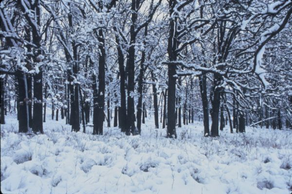 A Beautiful Winter Scene: White Snow on Leafless Trees and the Ground. Photo Credit: Robert A. Karges (WO-3998-CD-43A), Washington DC Library, United States Fish and Wildlife Service Digital Library System (http://images.fws.gov), United States Fish and Wildlife Service (FWS, http://www.fws.gov), United States Department of the Interior (http://www.doi.gov), Government of the United States of America (USA).