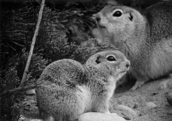 Two Ground Squirrels. State of Washington, USA. Photo Credit: PNNL Photo Library (http://PictureThis.pnl.gov, SMAA-3YMQRY, June 1977), Wildlife and Environmental Studies Category, Pacific Northwest National Laboratory (PNNL, http://www.pnl.gov), United States Department of Energy (http://www.doe.gov), Government of the United States of America.