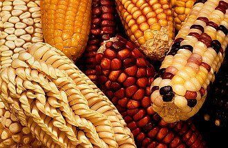 2. Harvested Maize, or Corn, from Latin America. Photo Credit: Keith Weller (http://www.ars.usda.gov/is/graphics/photos, K7743-13), Agricultural Research Service (ARS, http://www.ars.usda.gov), United States Department of Agriculture (USDA, http://www.usda.gov), Government of the United States of America (USA).