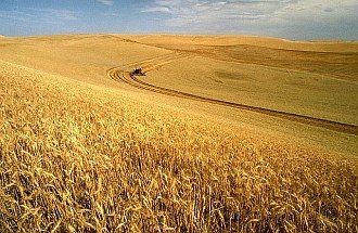 4. Wheat Field on the Palouse Ready for Harvesting. Photo Credit: K1441-5, (http://www.ars.usda.gov/is/graphics/photos, Agricultural Research Service (ARS, http://www.ars.usda.gov), United States Department of Agriculture (USDA, http://www.usda.gov), Government of the United States of America (USA).