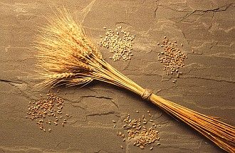3. Harvested Wheat Heads and Wheat Kernels. Photo Credit: Scott Bauer (http://www.ars.usda.gov/is/graphics/photos, K7219-1), Agricultural Research Service (ARS, http://www.ars.usda.gov), United States Department of Agriculture (USDA, http://www.usda.gov), Government of the United States of America (USA).