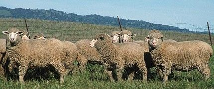 2. Sheep in Yolo County, State of California, USA. Photo Credit: Gary Kramer (2001, http://photogallery.nrcs.usda.gov, NRCSCA01047), USDA Natural Resources Conservation Service (NRCS, http://www.nrcs.usda.gov), United States Department of Agriculture (USDA, http://www.usda.gov), Government of the United States of America (USA).