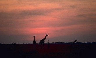 2. Giraffes in Sunset, Republic of Kenya, Africa. Photo Credit: Gary M. Stolz (WO5662-007), Washington DC Library, United States Fish and Wildlife Service Digital Library System (http://images.fws.gov), United States Fish and Wildlife Service (FWS, http://www.fws.gov), United States Department of the Interior (http://www.doi.gov), Government of the United States of America (USA).