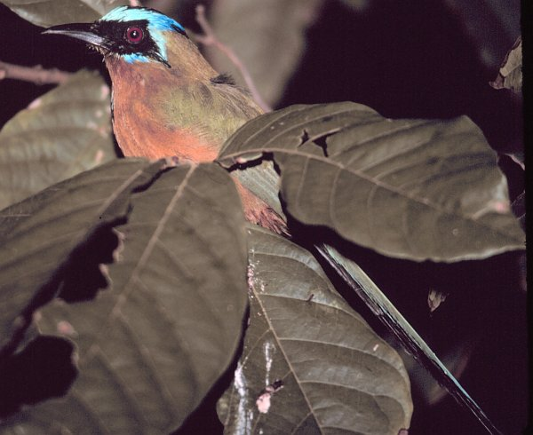 A Motmot Bird Trying to Roost for the Night, September 1980. Charlotteville, Tobago, Republic of Trinidad and Tobago. Photo Credit: Mary Hollinger, NOAA Biologist, NODC, National Oceanic and Atmospheric Administration Photo Library (http://www.photolib.noaa.gov), Small World Collection, National Oceanic and Atmospheric Administration (NOAA, http://www.noaa.gov), United States Department of Commerce (http://www.commerce.gov), Government of the United States of America (USA).