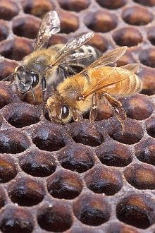 1. An Africanized honey bee (left) and a European honey bee (right) on honeycomb. Despite color differences between these two bees, normally they can't be identified by eye. Photo Credit: Scott Bauer (http://www.ars.usda.gov/is/graphics/photos, K11071-1), Agricultural Research Service (ARS, http://www.ars.usda.gov), United States Department of Agriculture (USDA, http://www.usda.gov), Government of the United States of America (USA).