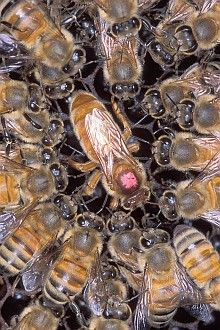3. Closeup of Africanized honey bees surrounding a European queen honey bee, marked with a pink dot for identification. Photo Credit: Scott Bauer (http://www.ars.usda.gov/is/graphics/photos, K11072-1), Agricultural Research Service (ARS, http://www.ars.usda.gov), United States Department of Agriculture (USDA, http://www.usda.gov), Government of the United States of America (USA).