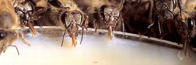 4. Honey bees devouring a new, nutrient-rich food. This artificial diet resulted from 5 months of research. Photo Credit: Stephen Ausmus (http://www.ars.usda.gov/is/graphics/photos, K10288-1), Agricultural Research Service (ARS, http://www.ars.usda.gov), United States Department of Agriculture (USDA, http://www.usda.gov), Government of the United States of America (USA).