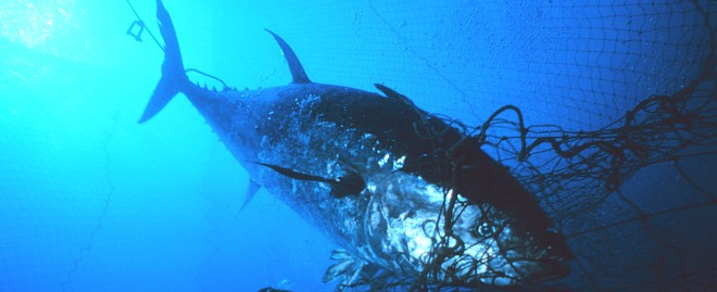 A Tuna Weighing 270 Kilograms (about 600 pounds) Ensnared Near the Mouth of the Fish Trap, May 1999. Favignana, Sicily, Repubblica Italiana - Italian Republic (Italy). Photo Credit: Danilo Cedrone, Photographer. Courtesy of United Nations Food and Agriculture Organization. This photograph is included in the National Oceanic and Atmospheric Administration Photo Library (http://www.photolib.noaa.gov, fish2003), Fisheries Collection, National Oceanic and Atmospheric Administration (NOAA, http://www.noaa.gov), United States Department of Commerce (http://www.commerce.gov), Government of the United States of America.