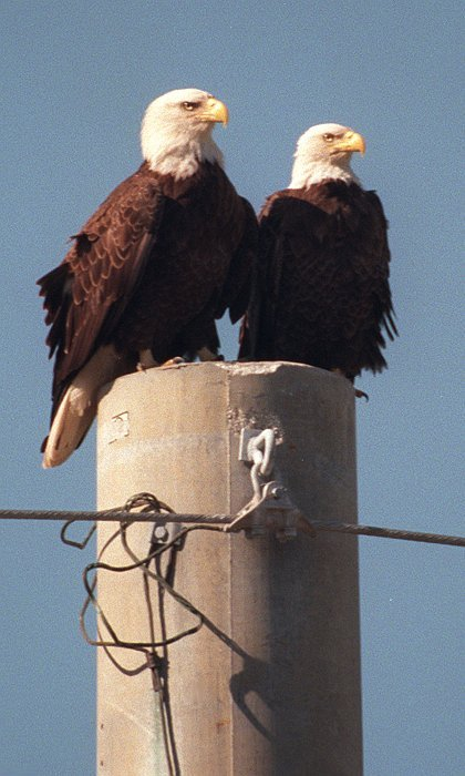 A Pair of Alert Nesting Southern Bald Eagles Share a Utility Pole on Kennedy Parkway North. NASA John F. Kennedy Space Center, State of Florida, USA. Photo Credit: NASA Kennedy Space Center Photo Archives (http://images.ksc.nasa.gov/photos/browse_archive.html, KSC-00PP-0041, January 12, 2000), John F. Kennedy Space Center (http://www.ksc.nasa.gov), National Aeronautics and Space Administration (NASA, http://www.nasa.gov), Government of the United States of America (USA).