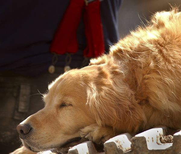 A Tired Search Dog Takes a Nap, September 15, 2001. New York, State of New York, USA. Photo Credit: Journalist 1st Class Preston Keres, Navy NewsStand - Eye on the Fleet Photo Gallery (http://www.news.navy.mil/view_photos.asp, 010915-N-3995K-014), United States Navy (USN, http://www.navy.mil), United States Department of Defense (DoD, http://www.DefenseLink.mil or http://www.dod.gov), Government of the United States of America (USA).