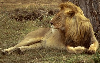 1. African Lion (male). Photo Credit: Ken Stansell, Washington DC Library, United States Fish and Wildlife Service Digital Library System (http://images.fws.gov, WO5105-25), United States Fish and Wildlife Service (FWS, http://www.fws.gov), United States Department of the Interior (http://www.doi.gov), Government of the United States of America (USA).