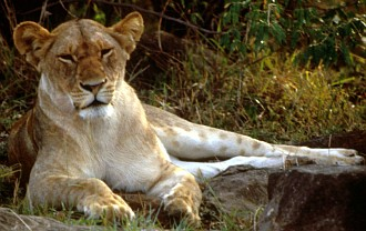 2. African Lioness (female lion). Photo Credit: Ken Stansell, Washington DC Library, United States Fish and Wildlife Service Digital Library System (http://images.fws.gov, WO5103-25), United States Fish and Wildlife Service (FWS, http://www.fws.gov), United States Department of the Interior (http://www.doi.gov), Government of the United States of America (USA).