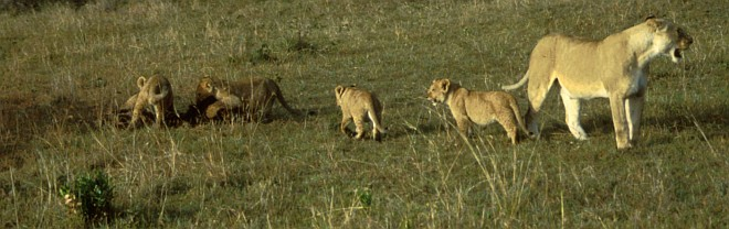 3. African Lioness (female lion) with Her Four Cubs. Photo Credit: Ken Stansell, Washington DC Library, United States Fish and Wildlife Service Digital Library System (http://images.fws.gov, WO5110-25), United States Fish and Wildlife Service (FWS, http://www.fws.gov), United States Department of the Interior (http://www.doi.gov), Government of the United States of America (USA).