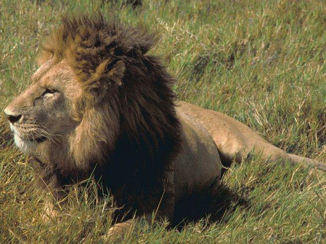 An African Lion (male) in the United Republic of Tanzania (Tanzania). Photo Credit: Gary M. Stolz, Washington DC Library, United States Fish and Wildlife Service Digital Library System (http://images.fws.gov, WO5639-007), United States Fish and Wildlife Service (FWS, http://www.fws.gov), United States Department of the Interior (http://www.doi.gov), Government of the United States of America (USA).