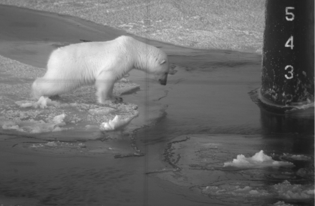 While Silently Watched Through the Periscope of the Submarine USS Honolulu (SSN 718, United States Navy), a Young Polar Bear, Ursus maritimus, Conducts an Investigation. October 2003, Arctic Circle. Photo Credit: Chief Yeoman Alphonso Braggs, Navy NewsStand - Eye on the Fleet Photo Gallery (http://www.news.navy.mil/view_photos.asp, 031000-N-XXXXB-002), United States Navy (USN, http://www.navy.mil), United States Department of Defense (DoD, http://www.DefenseLink.mil or http://www.dod.gov), Government of the United States of America (USA).