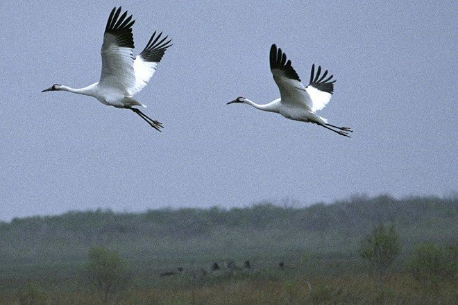 A Pair of Whooping Cranes (Grus americana) in Graceful and Seemingly Effortless Flight. Aransas National Wildlife Refuge, State of Texas, USA. Photo Credit: Steve Hillebrand, NCTC Image Library, United States Fish and Wildlife Service Digital Library System (http://images.fws.gov, WV-5144-Refuge Centennial), United States Fish and Wildlife Service (FWS, http://www.fws.gov), United States Department of the Interior (http://www.doi.gov), Government of the United States of America (USA).