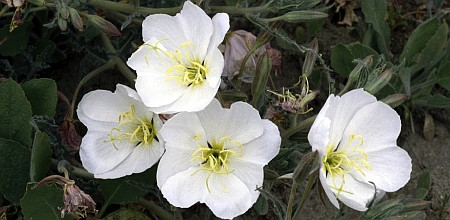 3. White Antioch Dunes Evening Primrose Antioch (Flower). Dunes National Wildlife Refuge, State of California, USA. Photo Credit: Ivette Loredo, NCTC Image Library, United States Fish and Wildlife Service Digital Library System (http://images.fws.gov, WV-9351-Centennial CD), United States Fish and Wildlife Service (FWS, http://www.fws.gov), United States Department of the Interior (http://www.doi.gov), Government of the United States of America (USA).
