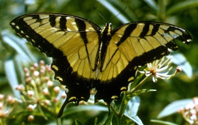 Tiger Swallowtail Butterfly. Photo Credit: Luther C. Goldman, Washington DC Library, United States Fish and Wildlife Service Digital Library System (http://images.fws.gov, WO259-011), United States Fish and Wildlife Service (FWS, http://www.fws.gov), United States Department of the Interior (http://www.doi.gov), Government of the United States of America (USA).