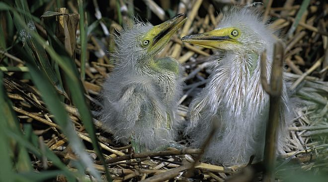 Two Snowy Egret Chicks. Delta National Wildlife Refuge, State of Louisiana, USA. Photo Credit: John and Karen Hollingsworth, NCTC Image Library, United States Fish and Wildlife Service Digital Library System (http://images.fws.gov, WV-10197-Centennial CD), United States Fish and Wildlife Service (FWS, http://www.fws.gov), United States Department of the Interior (http://www.doi.gov), Government of the United States of America (USA).