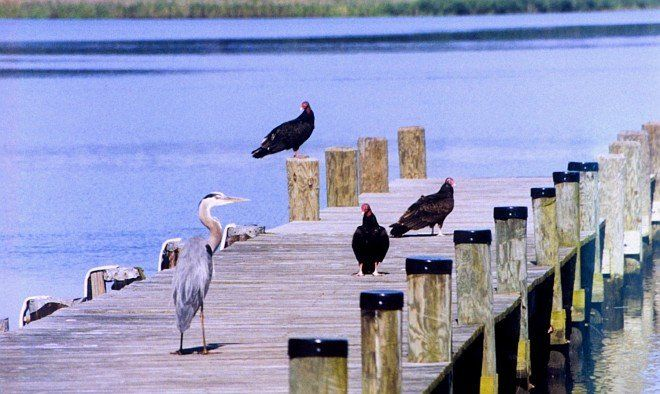 A Great Blue Heron and Turkey Vultures Peaceably Sharing the Pier, June 2001. Patuxent River, State of Maryland, USA. Photo Credit: Mary Hollinger, NODC biologist, NOAA, National Oceanic and Atmospheric Administration Photo Library (http://www.photolib.noaa.gov, line2252), Small World Collection, National Oceanic and Atmospheric Administration (NOAA, http://www.noaa.gov), United States Department of Commerce (http://www.commerce.gov), Government of the United States of America (USA).